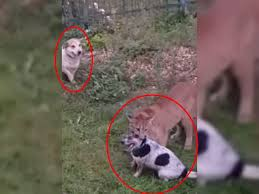 Perro estuvo a punto de ser la carnada de un puma
