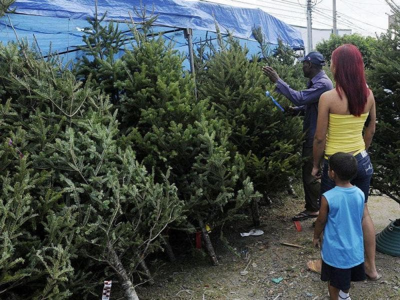 Temen ingreso de pinos navideños con plagas