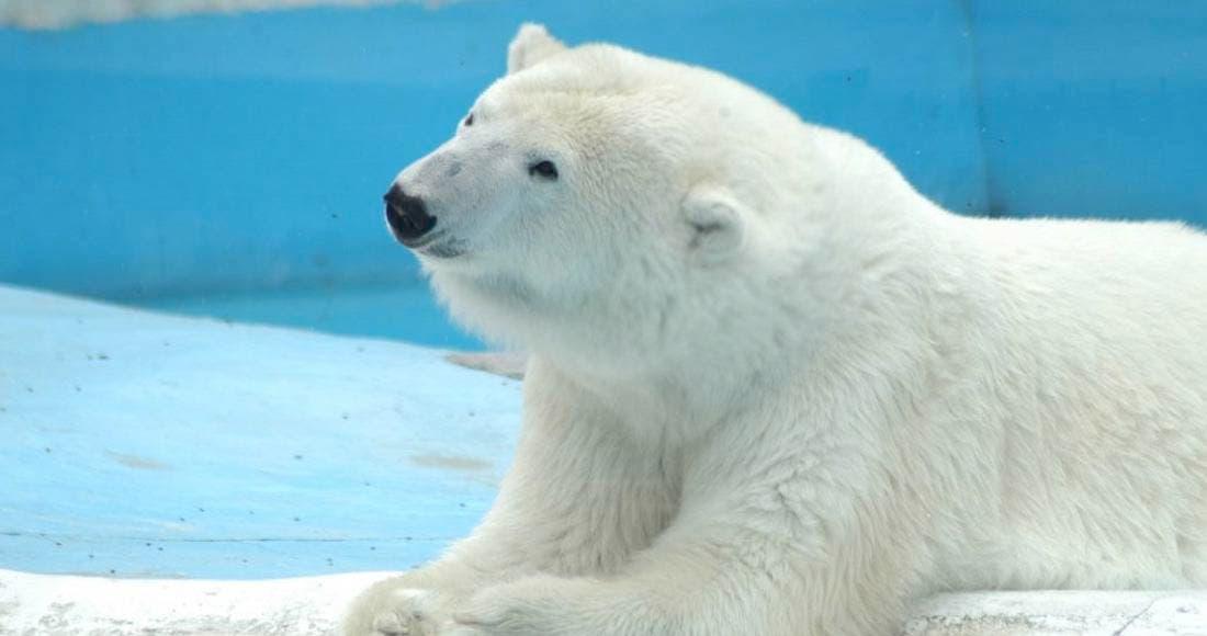 Muere Yupik, osa polar en Morelia, el calor la mató, se negaron a transferirla