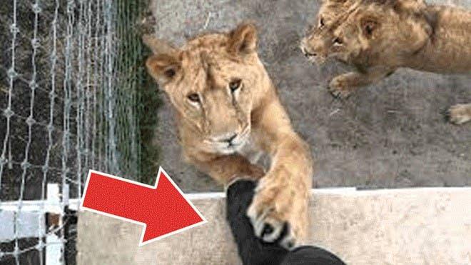 Hombre entra a jaula de leones y los graba jugando