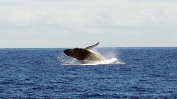 Japón reanudará la caza de ballenas en 2019