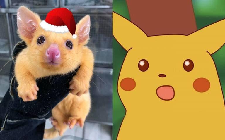 ¡Igualito! Descubren zarigüeya parecida a Pikachu