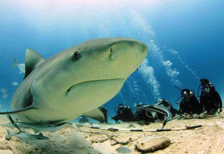 Adrenalina por avistamiento del tiburón ballena en Playa del Carmen