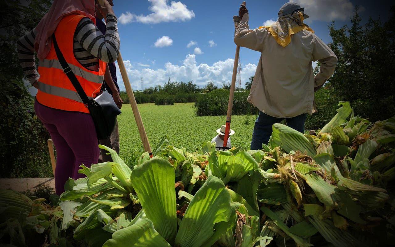 """Planta """"Lechuguilla"""" sigue en expansión invadiendo la flora y Protección al Ambiente no hace nada"""