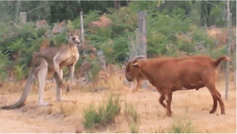 Vídeo: Cabra se echa un buen round con un canguro se pelean por la comida