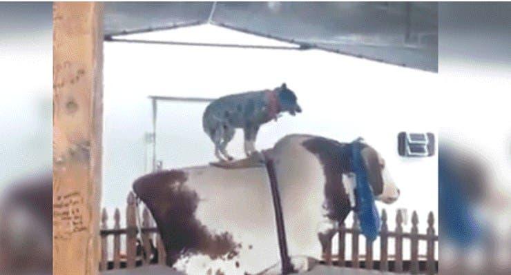 Vídeo: Perro sorprende al domar toro mecánico