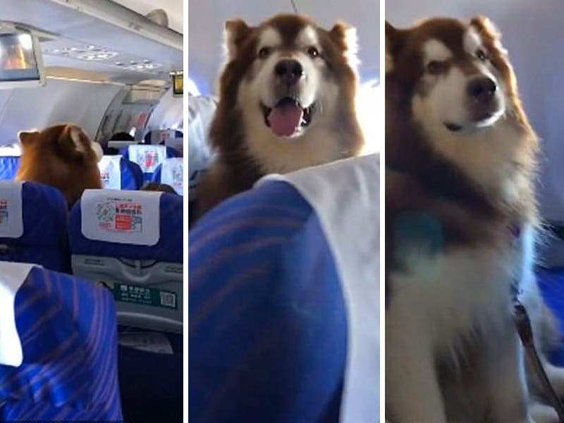 Video: Perro viaja en avión junto a su dueño discapacitado