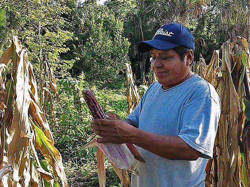 Productores de maíz en Quintana Roo, prevén alcanzar una meta de cosecha de 30 mil toneladas