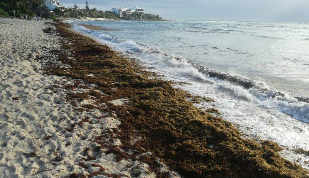 """Sargazo y """"síndrome blanco"""" complica situación de los corales"""