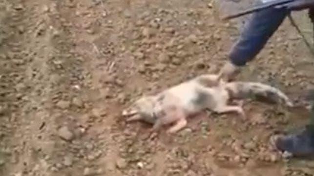 Vídeo: Cazador mata a zorro y la denuncia no procede por no ser animal doméstico
