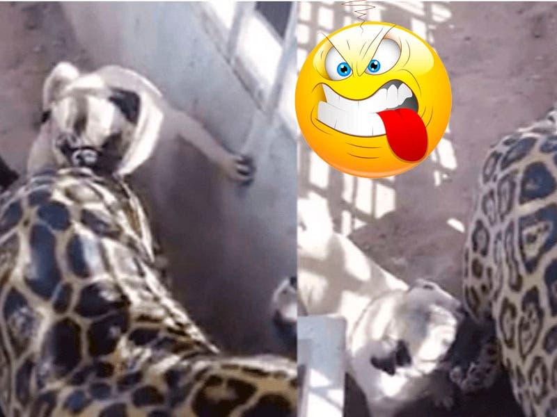 Vídeo: Perrito Pug se da de cates al morder a Jaguar en su jaula y se viraliza en redes sociales