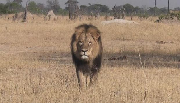 León en Zimbabwe