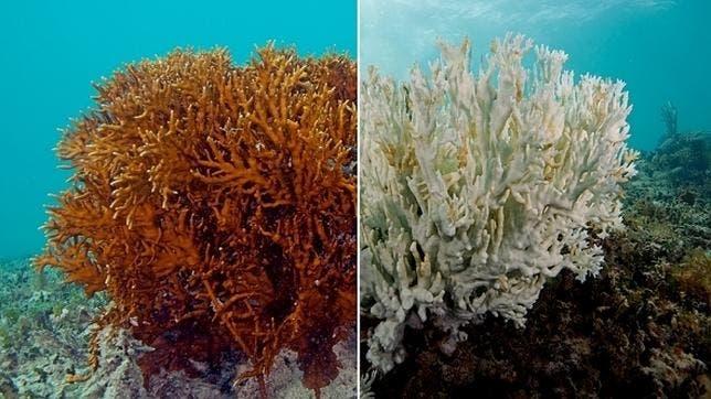 Blanqueamiento de los corales .