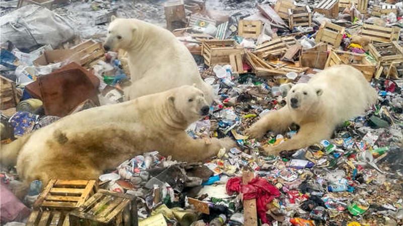 Desplazan humanos a osos polares en el Ártico; especie en peligro