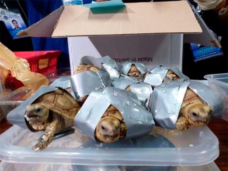 Encuentran a mil 529 tortugas envueltas con cinta adhesiva en un aeropuerto