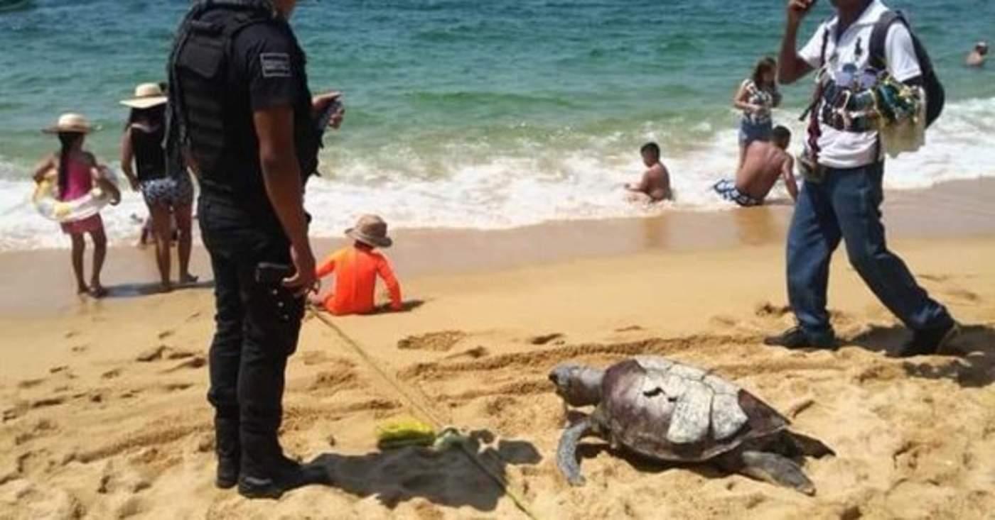 Suman más de 80 tortugas marinas muertas en las costas de Acapulco