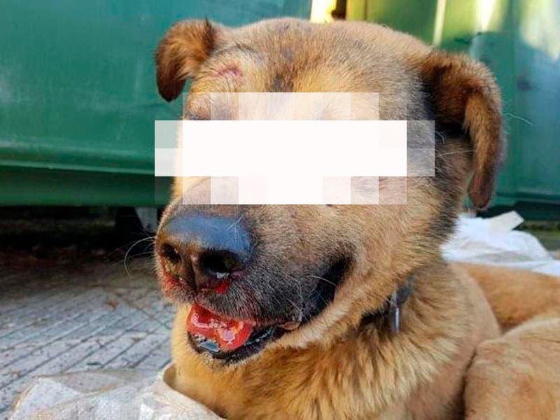 "¡Otra tragedia! Jóvenes matan a golpes a perro ""Ángel"" en Michoacán"