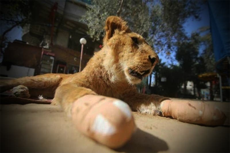 VÍDEO: Mutilan a leona de zoológico para que los visitantes jueguen