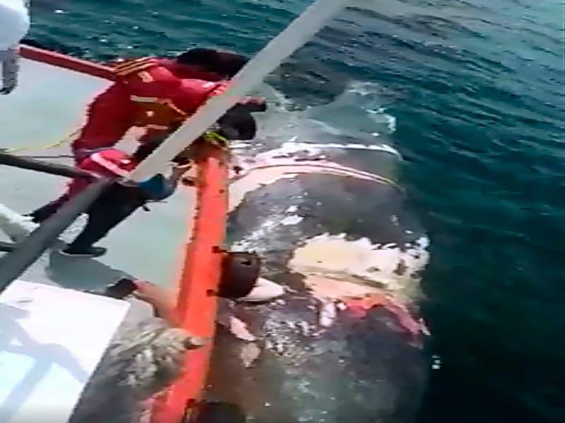 Ballena muere tras chocar con un barco, es arrastrada hasta Manzanillo