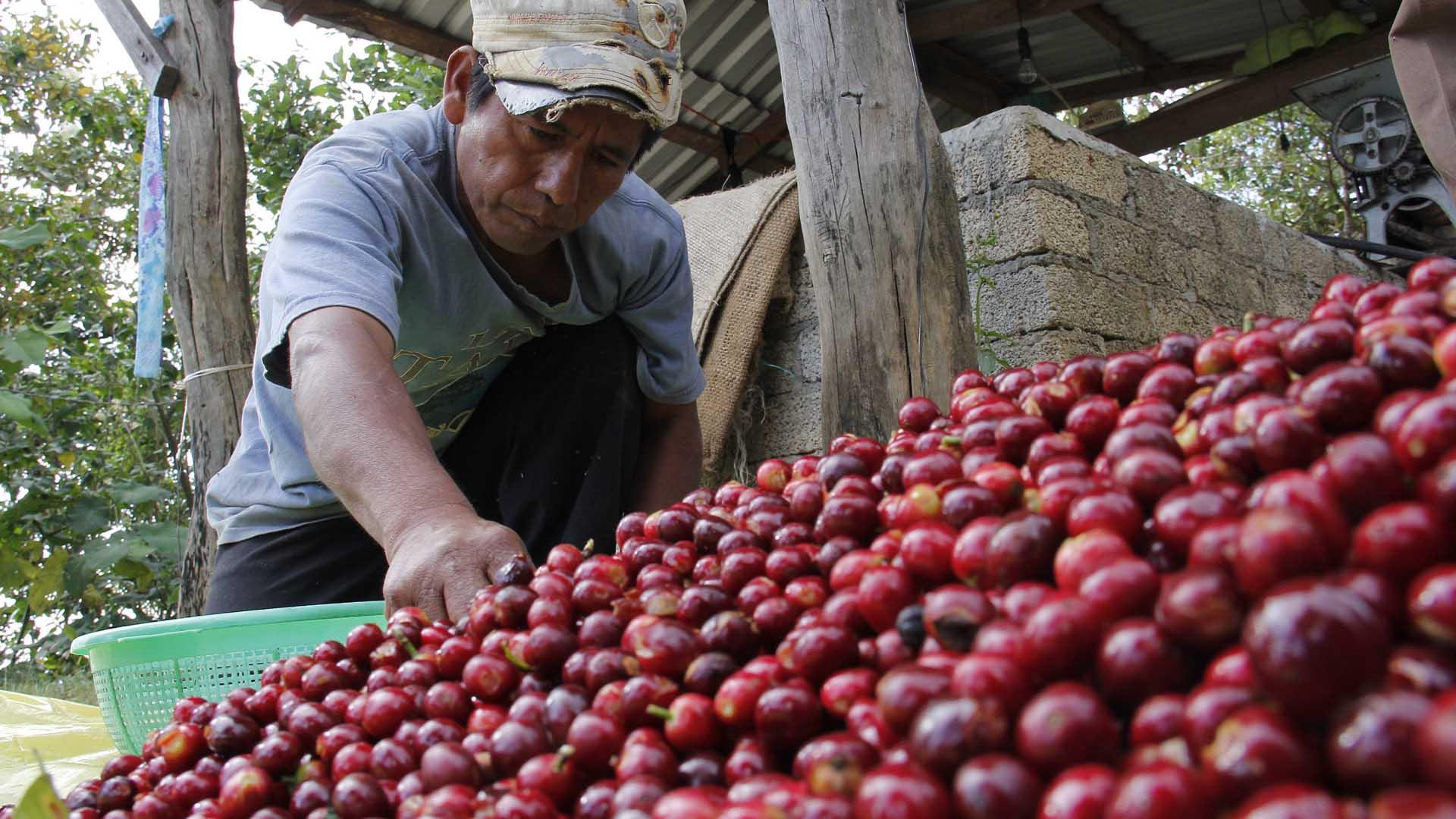 Denuncia cafetalero de Veracruz a Nescafé: paga 6 pesos el kilo de café
