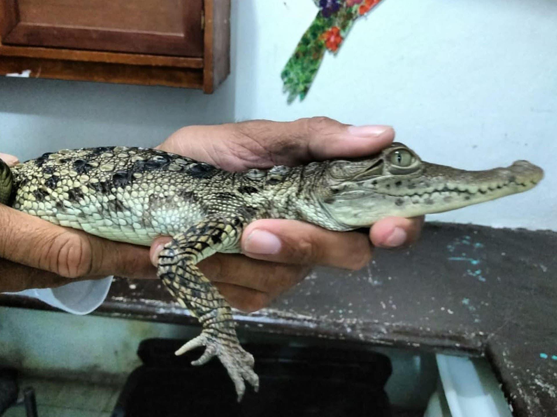 Rescatan a un cocodrilo en Cozumel