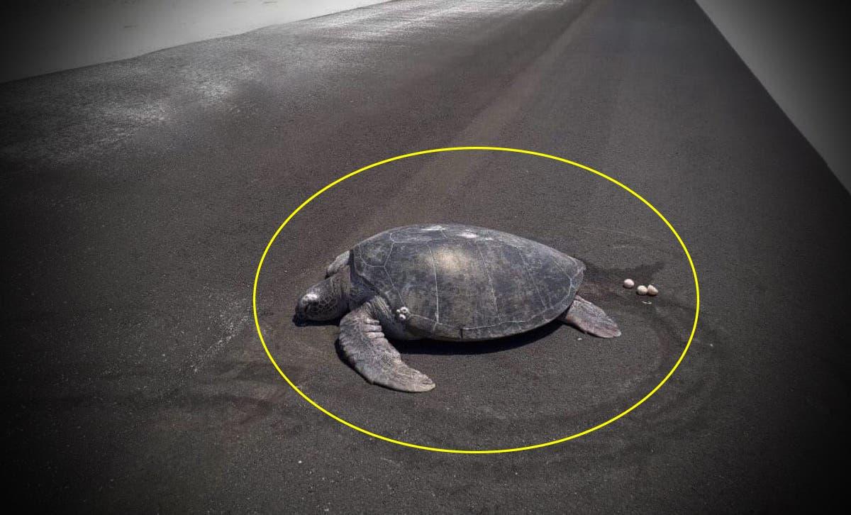 Tortuga sale del agua para desovar pero ya no está la arena