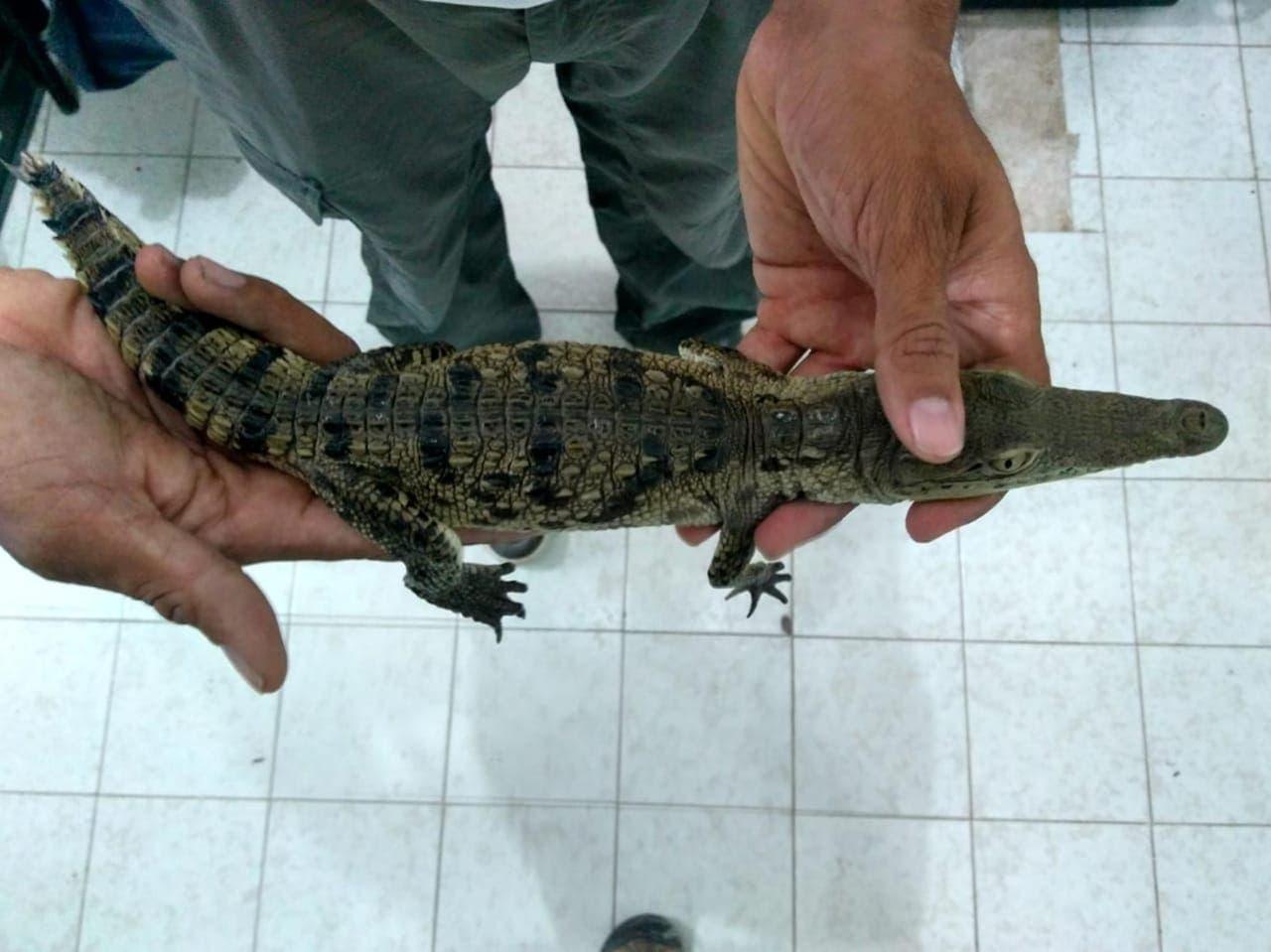 El biólogo Rafael Chacón Díaz, director de Conservación y Educación Ambiental (CEA), informó que una familia se puso en contacto con él para entregarle al cocodrilo.