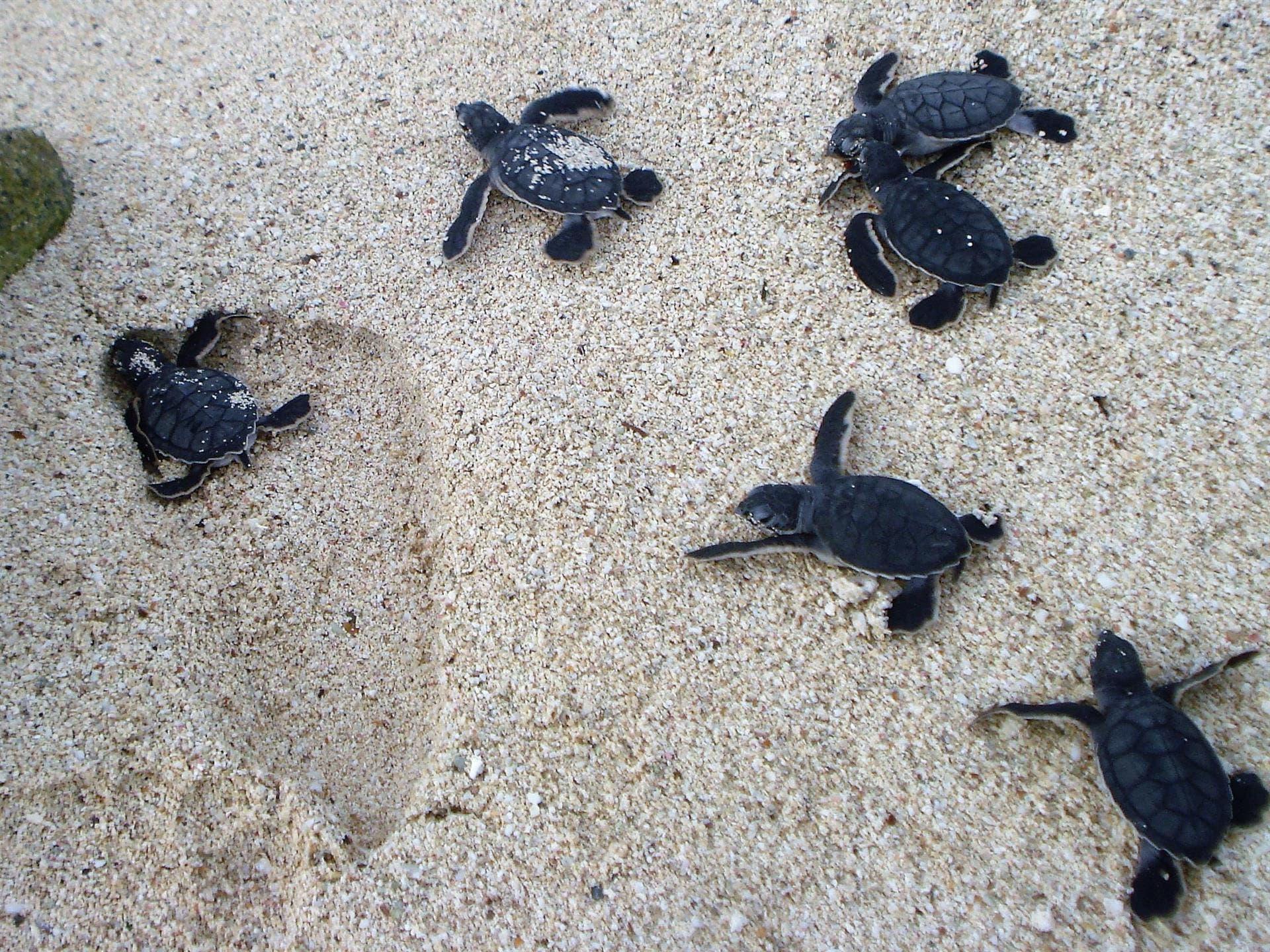 Inician actividades para proteger a la tortuga marina en Puerto Morelos