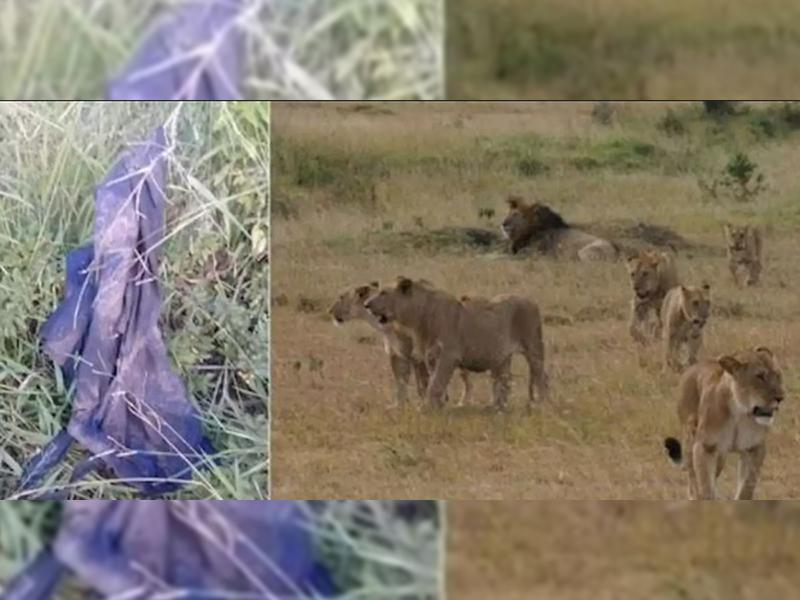 Asesinado brutalmente por un elefante y devorado por leones