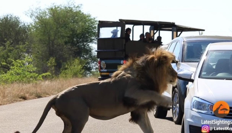 VÍDEO: León se enoja por la presencia de los turistas