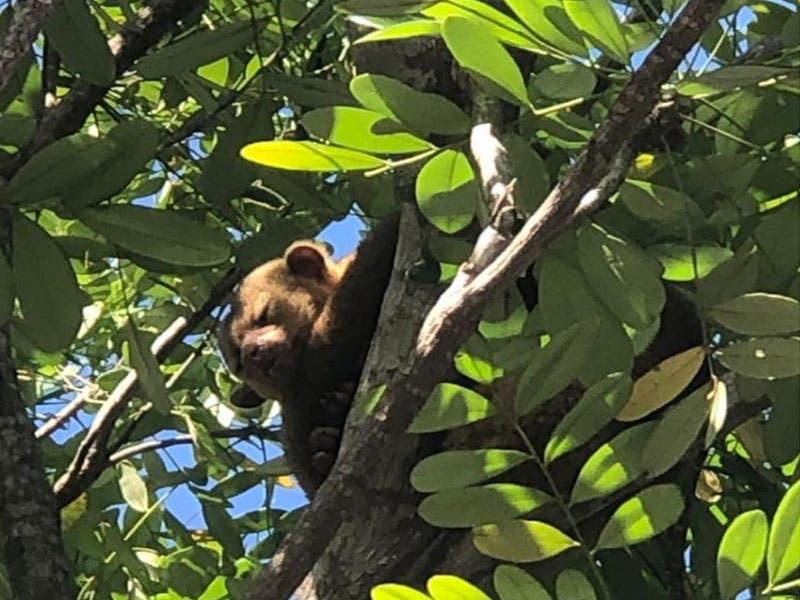 El Mico de Noche fue observado por vecinos del fraccionamiento Tumben Chilam