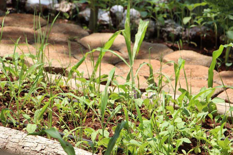Universidad maya fomenta preservación de especies originales y orgánicas de maíz