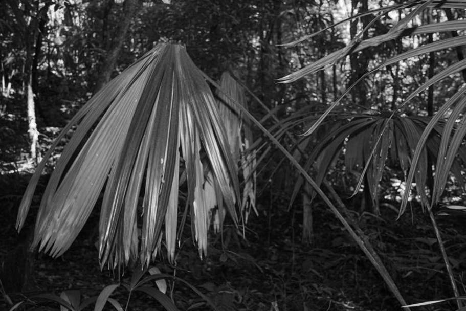 Persona muere al caer de una Palma de guano en Yucatán