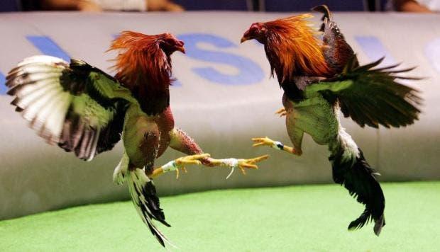 La actualización de la Ley de Protección Animal, prohíbe las corridas de toros y peleas de gallos en Quintana Roo.