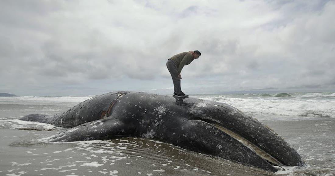 Reclama el mar al humano; crece número de ballenas muertas en playas