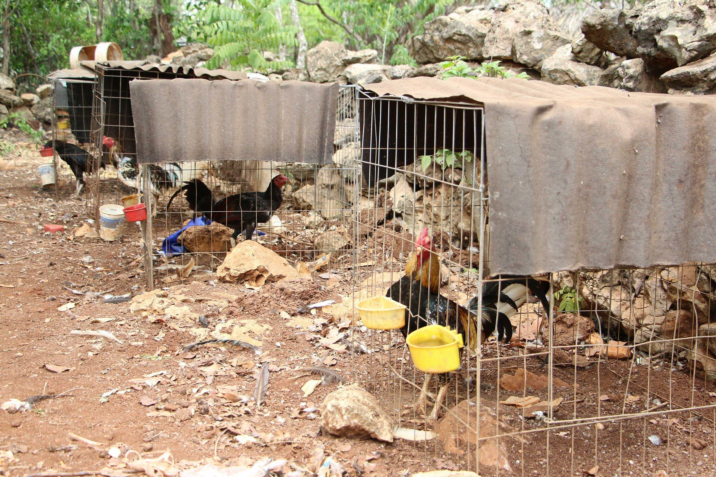Galleros critican ley que prohíbe las peleas de gallos