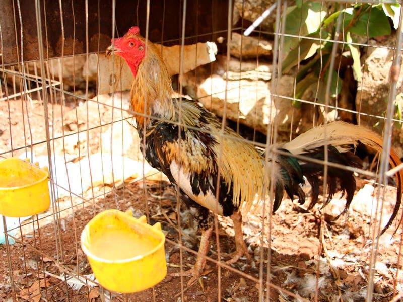 Galleros critican ley que prohíbe las peleas de gallos en Quintana Roo