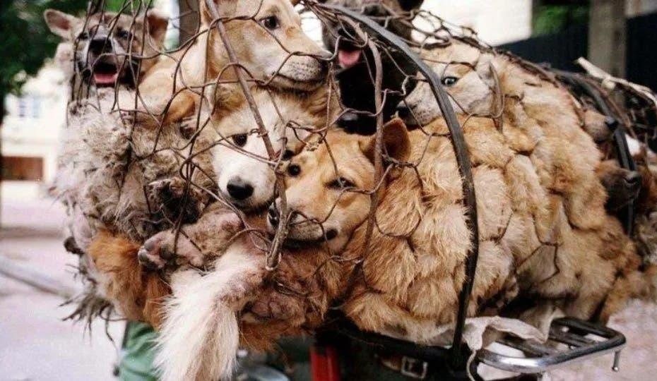 Recaudan firmas para ponerle fin a Festival en donde comen perros