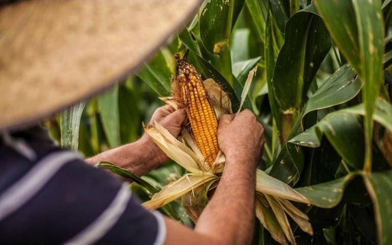 Campesinos de Q.Roo reciben asesoría para mejorar su maíz