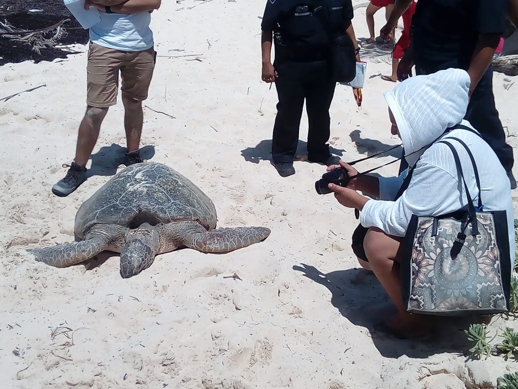 Tortuga marina muerta en playa San Martín