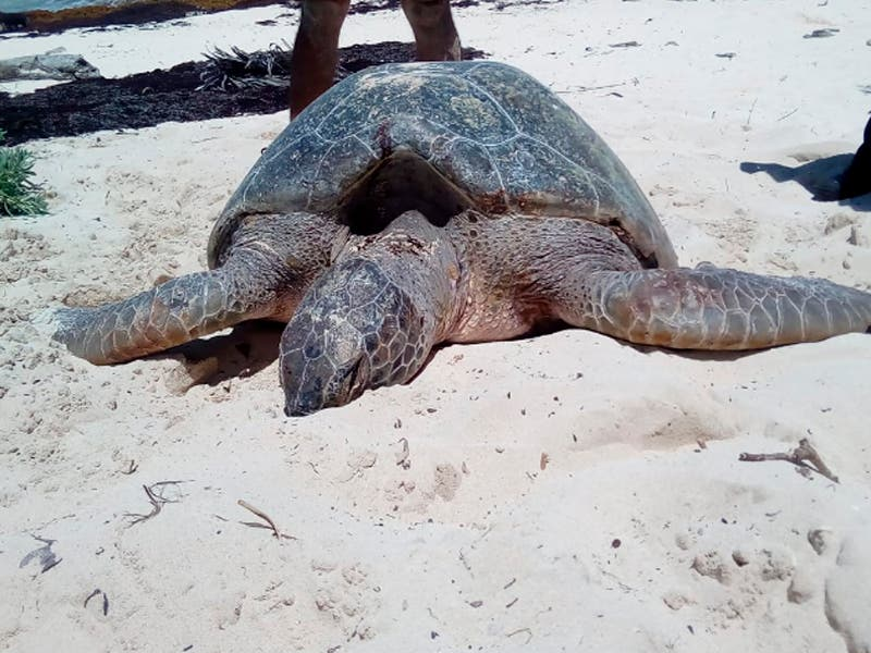 Encuentran tortuga marina muerta en playa San Martín