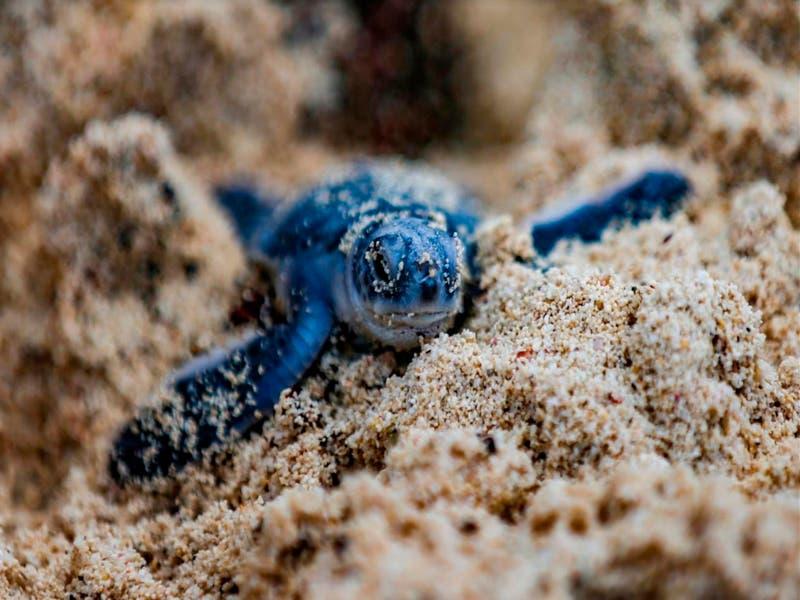 Repuntan nidos en el Campamento Tortugero de Punta Sur