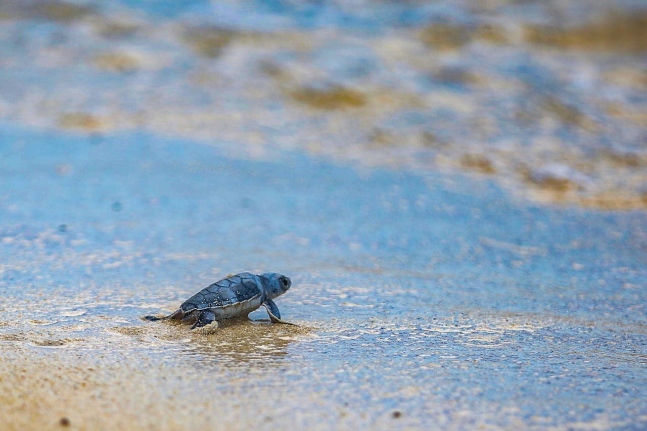 A tres meses de que concluya la temporada de anidación de tortugas marina