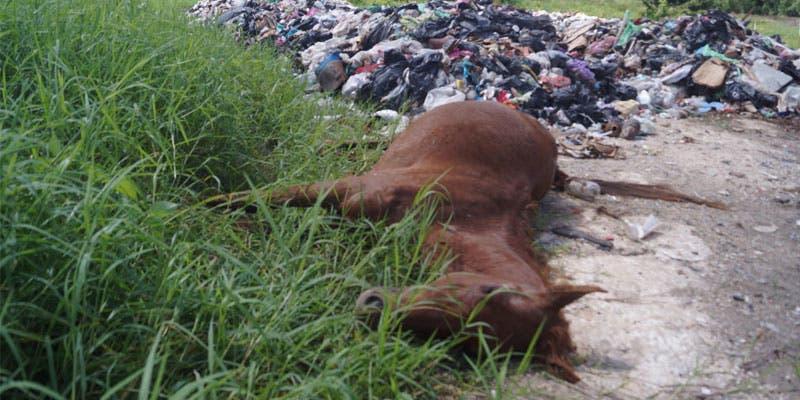 Tiran cadáver de caballo al relleno sanitario de Kantunilkín.