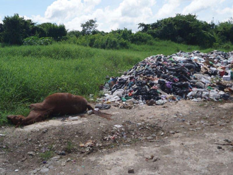 Tiran cadáver de caballo al relleno sanitario de Kantunilkín; desconocidos aprovechan la ausencia de los trabajadores para dejar los restos del animal.