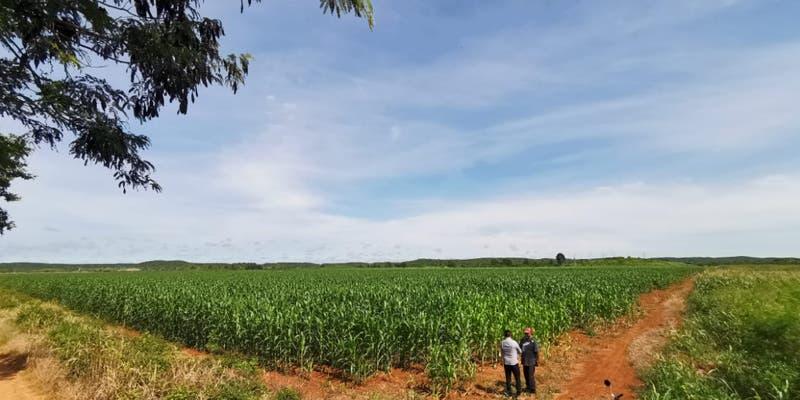 Campesinos morelenses le apuestan ahora al maíz por temporada