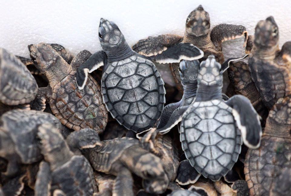 """Con el Eje 3 """"Municipio Verde, Desarrollo Urbano Sostenible e Infraestructura"""" se trabaja también en la protección de las tortugas marinas y la eliminación de popotes y bolsas de plástico, entre otras acciones"""