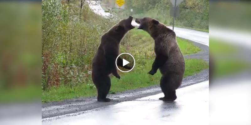 Captan pelea de osos en medio de la carretera