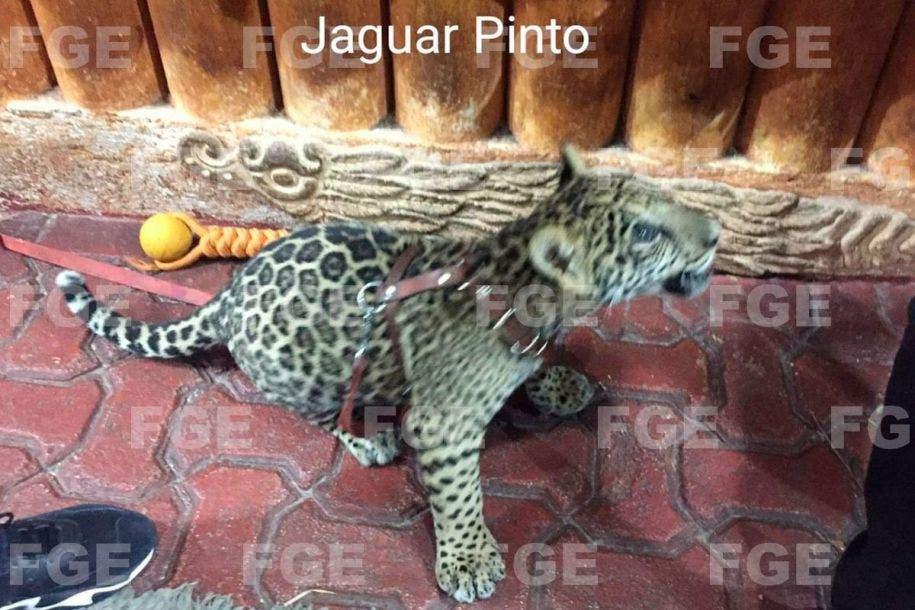 Aseguran animales exóticos en Playa del Carmen; detiene la Fiscalía a ocho personas en la Zona Turística, por no acreditar la posesión.