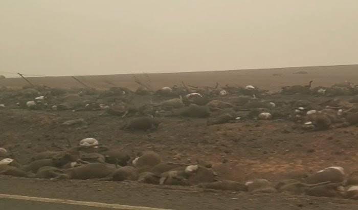 Matan a 5 mil camellos hambrientos y sedientos en Australia.